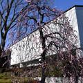 出入口付近の枝垂れ梅