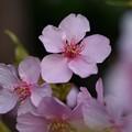 Photos: 庭の鉢植え河津桜