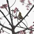 Photos: つぼみつんつんメジロ