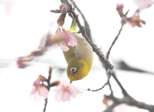 修善寺寒桜ハイキーメジロ