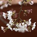 3月28日の桜