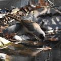 水を飲むカオグロガビチョウ