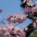早咲きの桜?それとも梅?