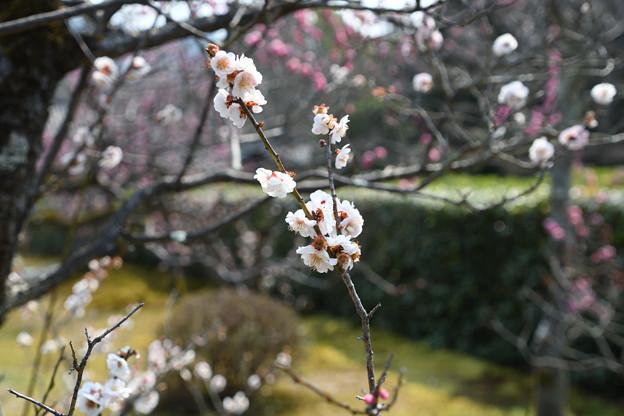 梅園~大きな白い梅も