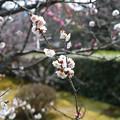 写真: 梅園~大きな白い梅も