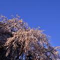 Photos: 照桜