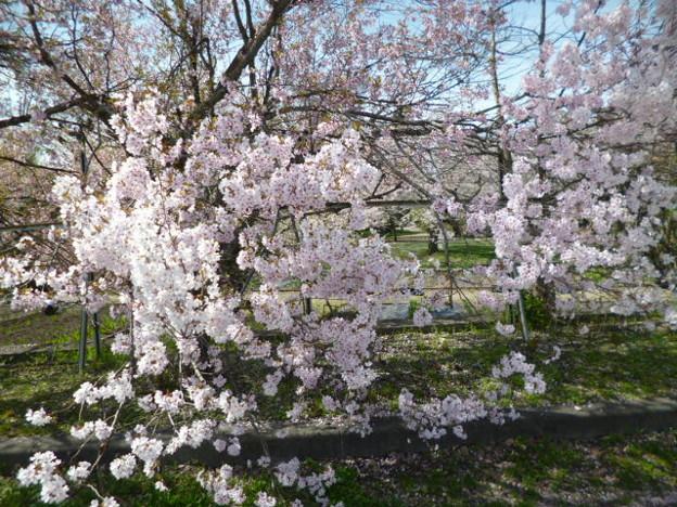 宮川の千本桜