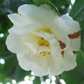 木陰の白椿 H29,3,28
