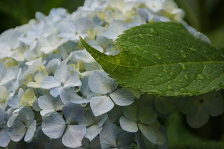 淡いブルーのアジサイに葉っぱ!