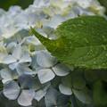 Photos: 淡いブルーのアジサイに葉っぱ!