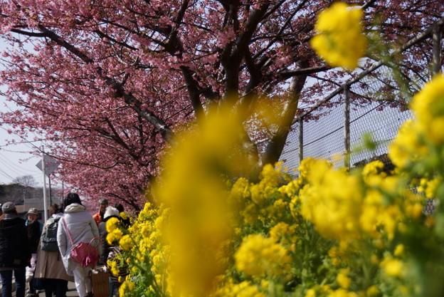 菜の花と河津桜道150228-s
