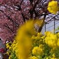 写真: 菜の花と河津桜道150228-s
