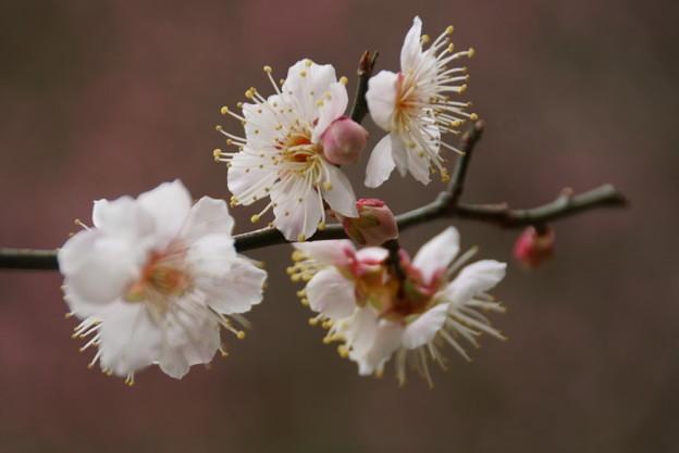 写真: 東慶寺梅150315-3005
