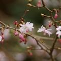 写真: 東慶寺十月桜150315-2585