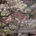 写真: 東慶寺梅模様150315-3735