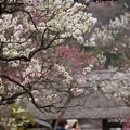 Photos: 東慶寺梅模様150315-3735
