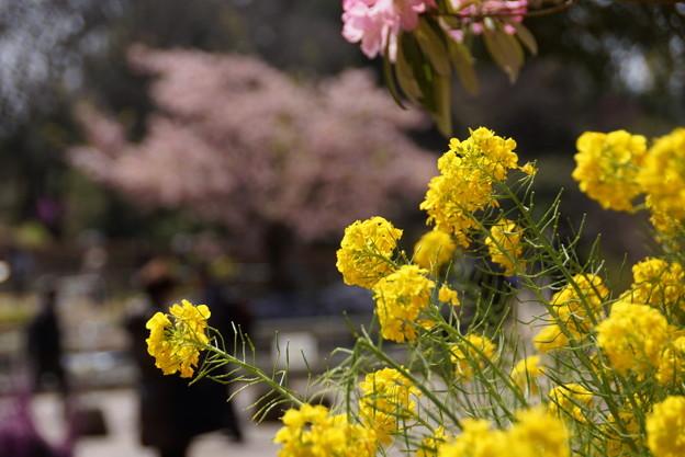 菜の花150322-8975