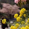 写真: 菜の花150322-8975
