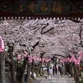 写真: 称名寺の桜参道!20150329