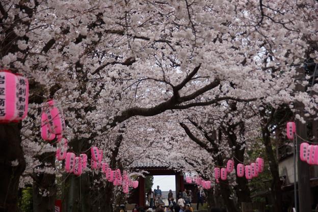 称名寺の桜参道2!20150329