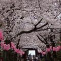 写真: 称名寺の桜参道2!20150329