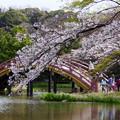 写真: 太鼓橋の桜!2015