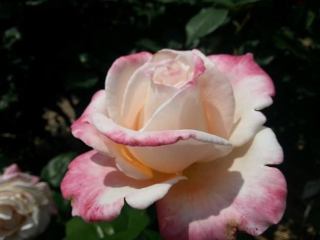淡いピンクのバラの彩!2015b