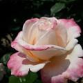 写真: 淡いピンクのバラの彩!2015b