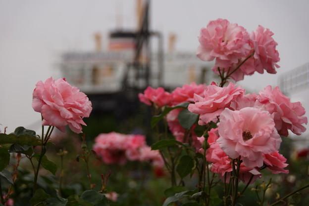 ピンクのバラと氷川丸20160528c