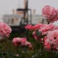 写真: ピンクのバラと氷川丸20160528c