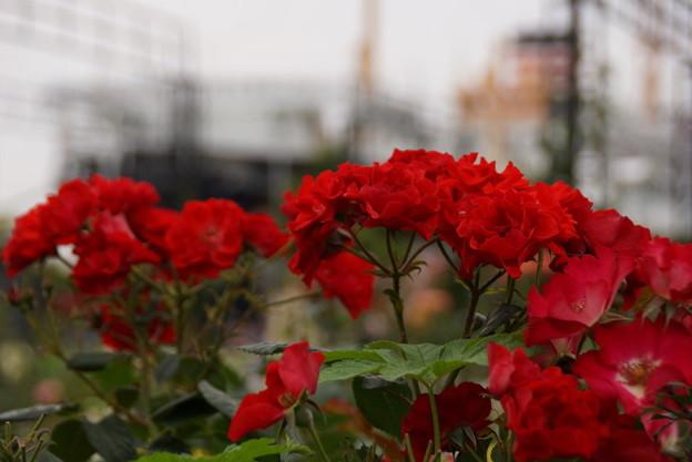 赤いバラと氷川丸20160528d