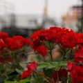 写真: 赤いバラと氷川丸20160528d