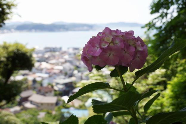 写真: 鎌倉の海とアジサイ20160611