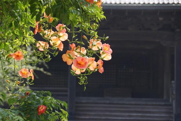 写真: ノウゼンカズラ鎌倉2016d