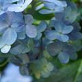 写真: 雨の紫陽花20160710