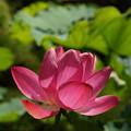 写真: 蓮の花も咲く20160710