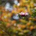 写真: サザンカと紅葉161023-4165