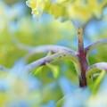 Photos: 紫陽花さん、猛暑で痩せたんですかー!