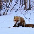 写真: 野生のキツネの生態