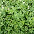 写真: 四つ葉のクローバー・・・いくつ見つけられるかな?
