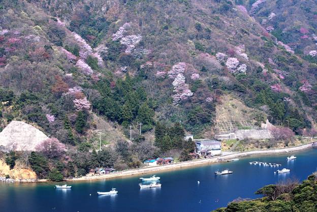 写真: 『常神半島・神子の山桜』