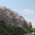 写真: 『飛鳥川の桜』奈良県磯城郡田原本町付近