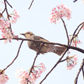 写真: 彼岸桜と