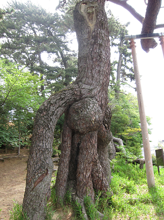 根上がり松 - 2