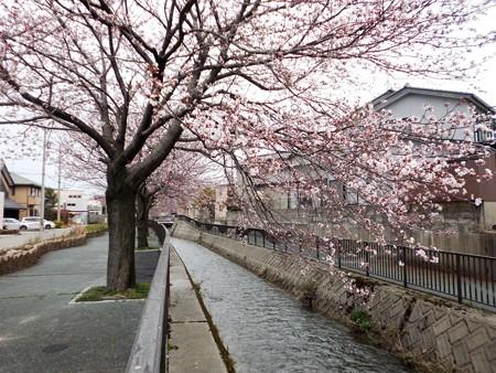 金澤桜情報