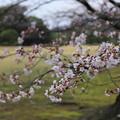 Photos: さくら