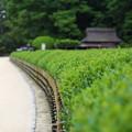 Photos: 後楽園茶畑