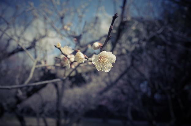 写真: 白梅