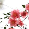 写真: 後楽園椿