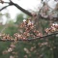 写真: 後楽園の桜